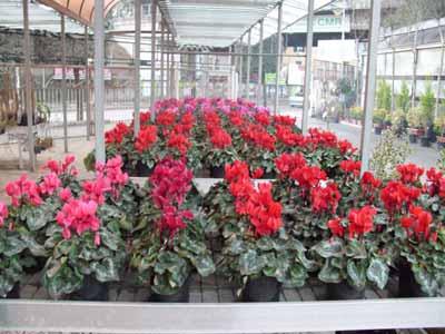 Vivai Rosso Antonio : Vivai maisto antonio e francesco vivai piante e fiori melito di