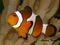 Acquario di avetti mario c snc acquari ornamentali ed for Ingrosso pesci rossi