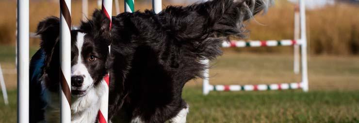 agility dog per cani