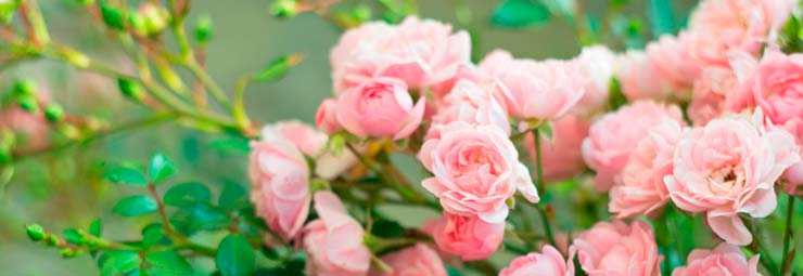 scelta varietà rose