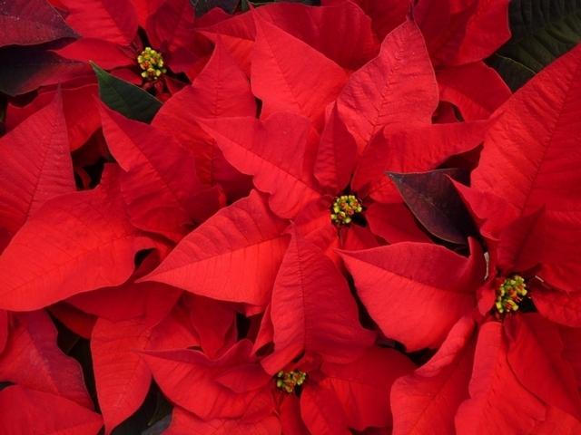 fiore Vivaio Ciclamini Vivaio dinverno Stelle di Natale Fiori Vivaio ...