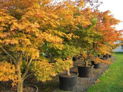 Arbusti decorativi rugiano martinuzzo