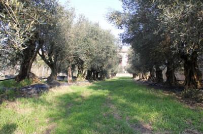 coltivazione ulivo