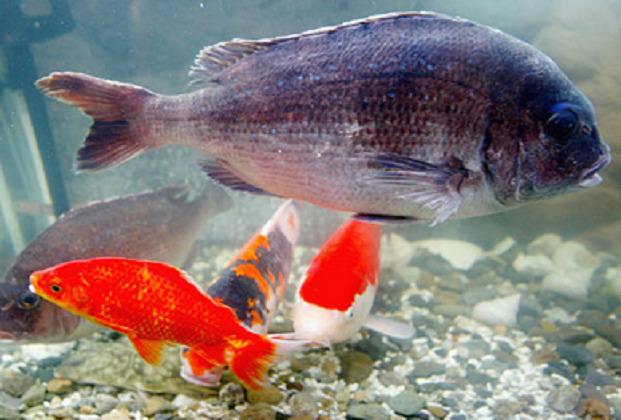 pesci SOTTOMARINO GIALLO