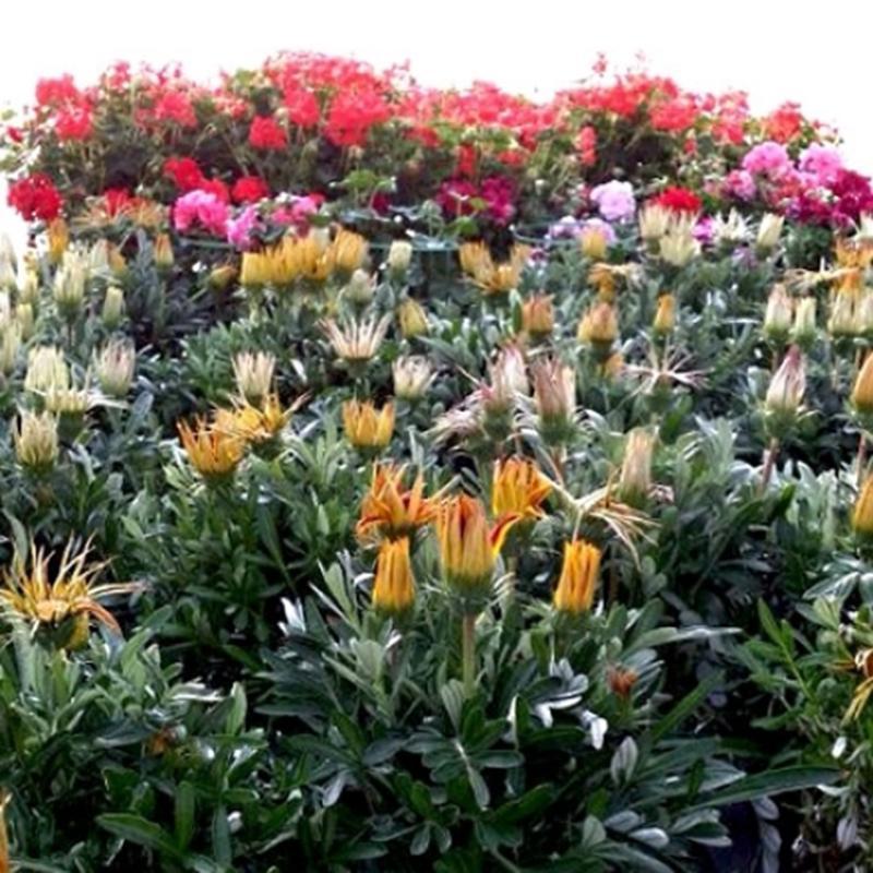 Vivai montanaro sas francavilla fontana ss 7 for Piante ornamentali per esterno