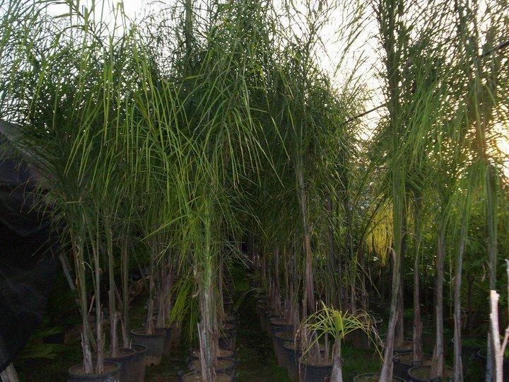 Vivaio Suriano alberi